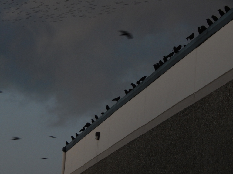Renton Crows line up with flock in distance