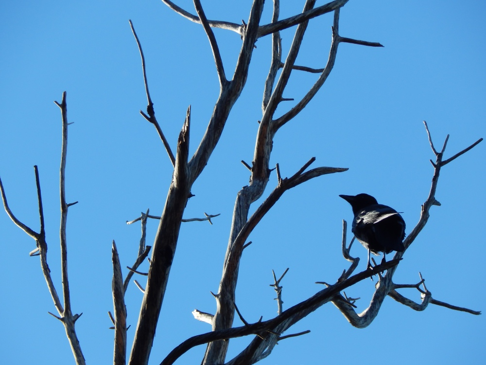 Classic Crow in Dead Tree