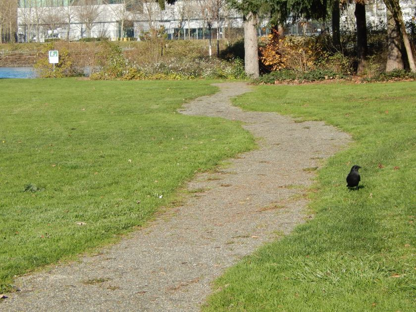 Crow foraging at Duwamish Waterway Park