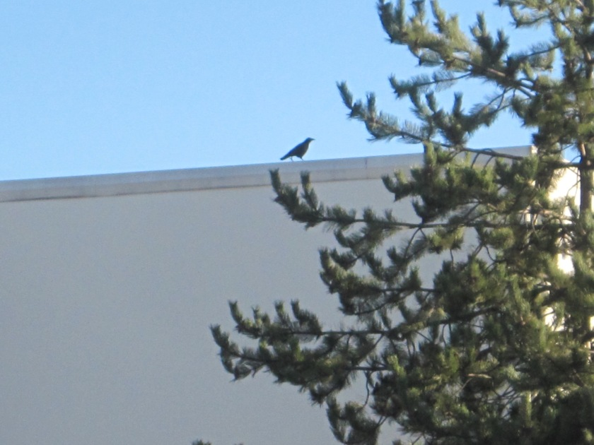 Always a Crow watching me