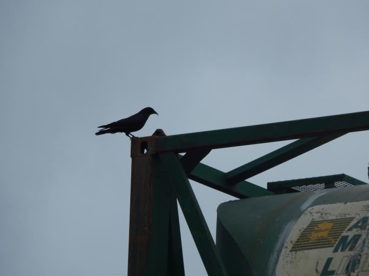 Duwamish Crow