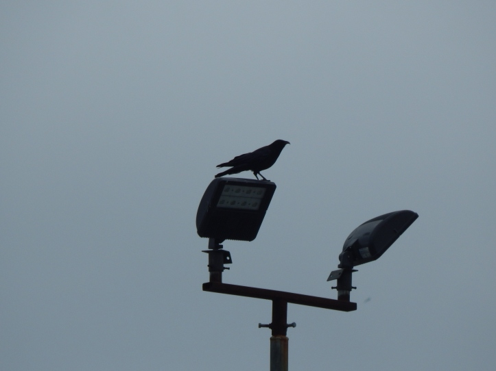 Crows surveys his domain