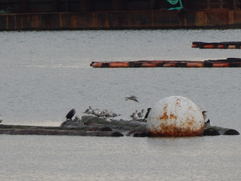 Row of birds on float in Duwamish off Kellogg Island