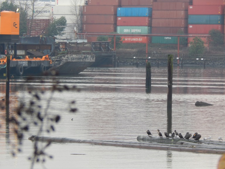Birds on the Duwamish River