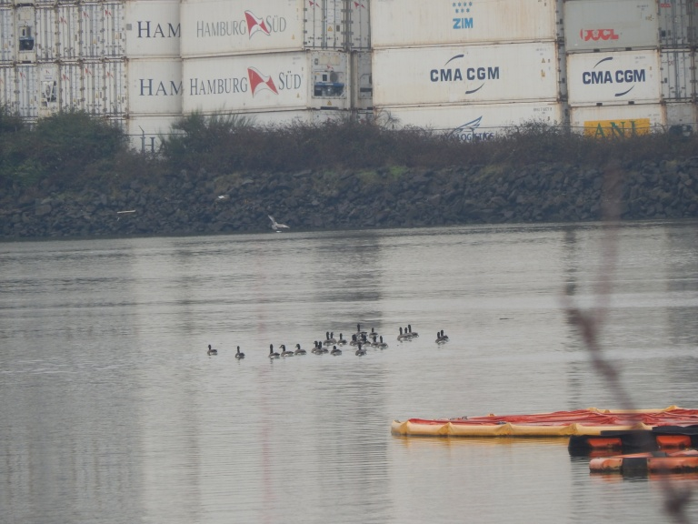 Geese surrounded by container land