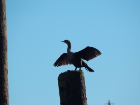 Cormorant drying his wings