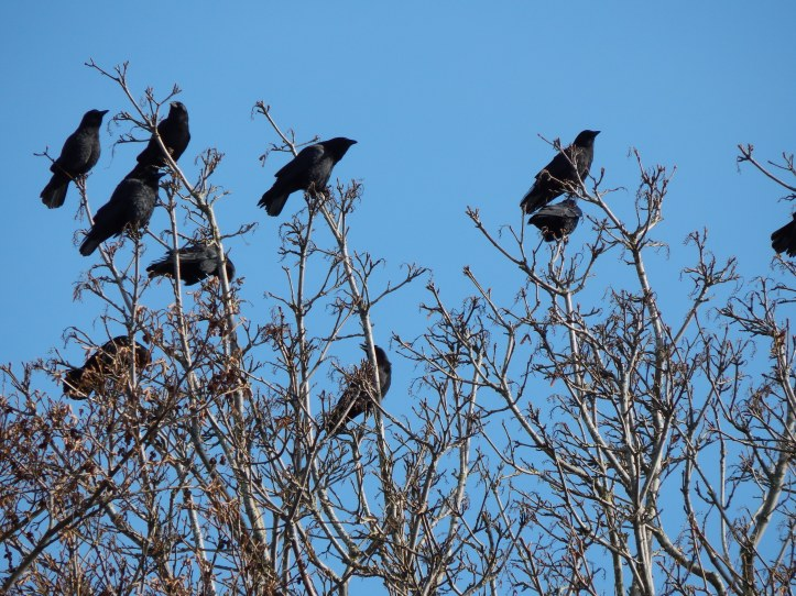 Crows on Puget Sound watching me for snacks