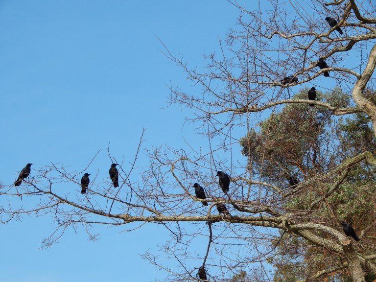 My crow friends at Ocean View Beach