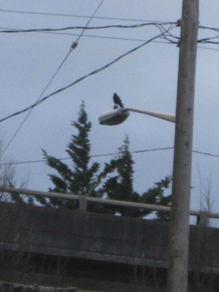 Crow overlooking West Seattle Freeway