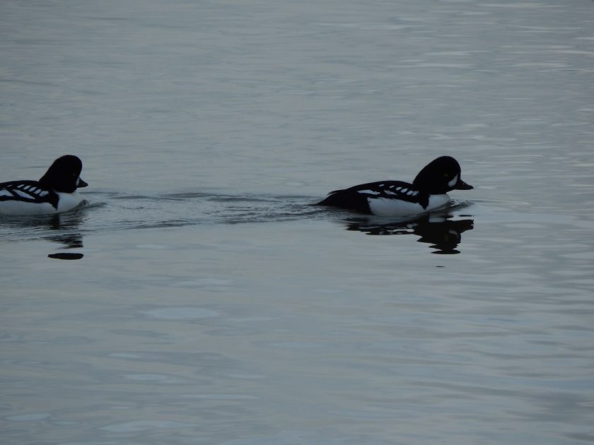 Ducks at home in the Duwamish River