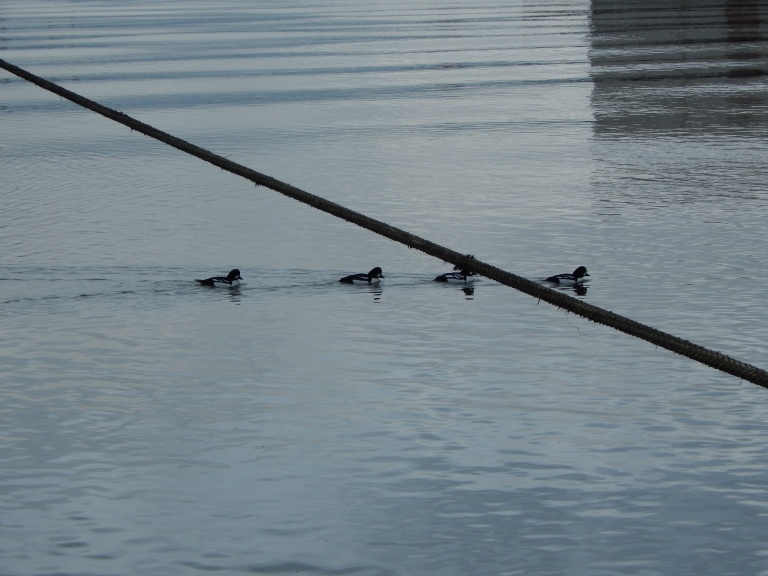 crossing the waterway a family of ducks