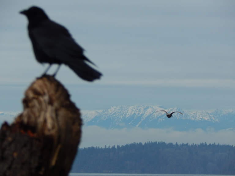 Crow & a Gull with Olympics backdrop