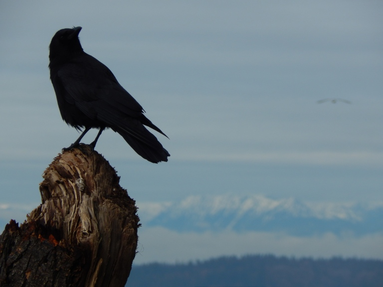 Crow senses Gull coming