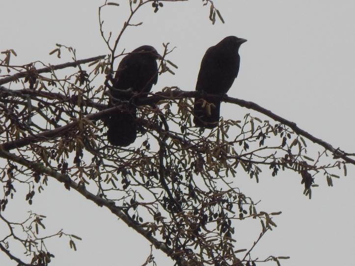 Crow Pair #1 Seahurst Park