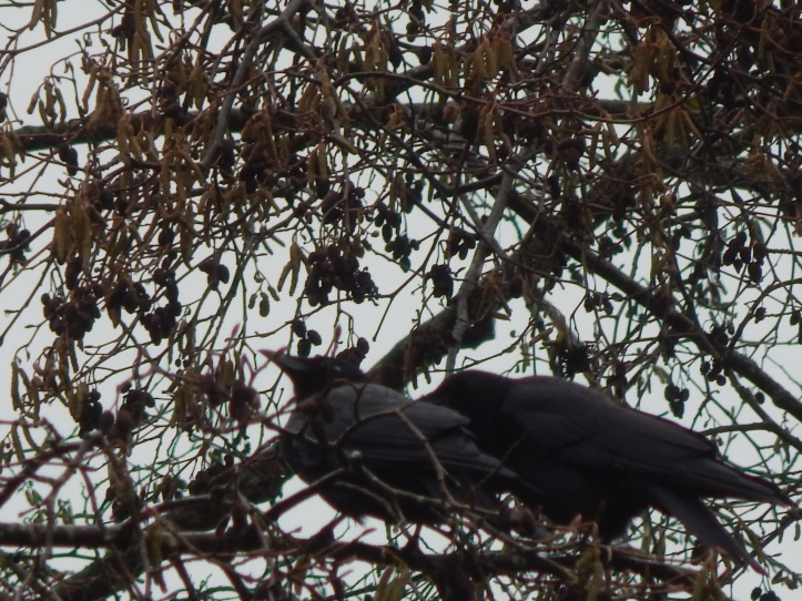 Crow Pair #3 Seahurst Park