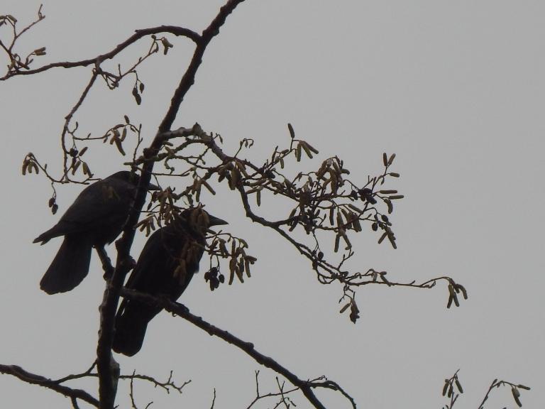 Crow Pair #2 Seahurst Park