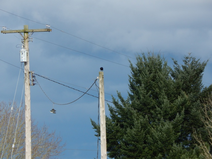 Crow watches from pole