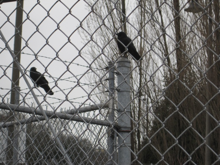 Chain Link fencing makes good crow hang out