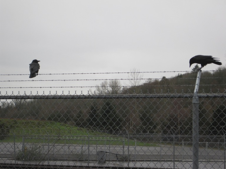 T-5 Fencing and local crows