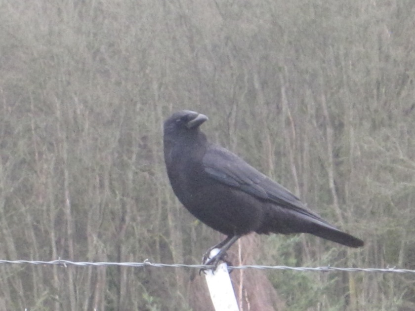 Crow watching me for Peanuts