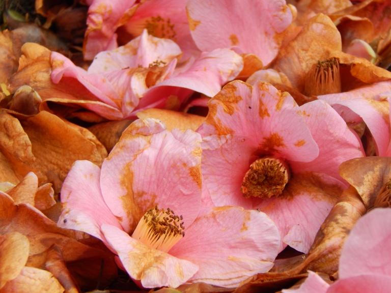 fallen but still pretty in pink
