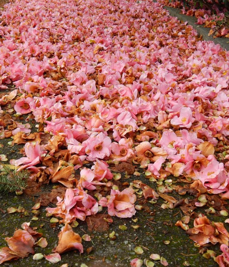 Pink Camellia litter