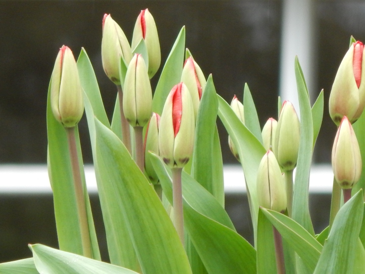 Tulips soon to be blazing red blooms