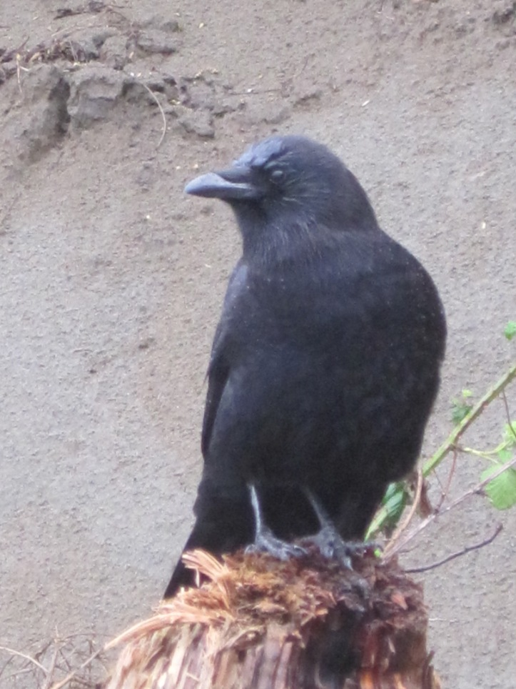 My Crow Follower