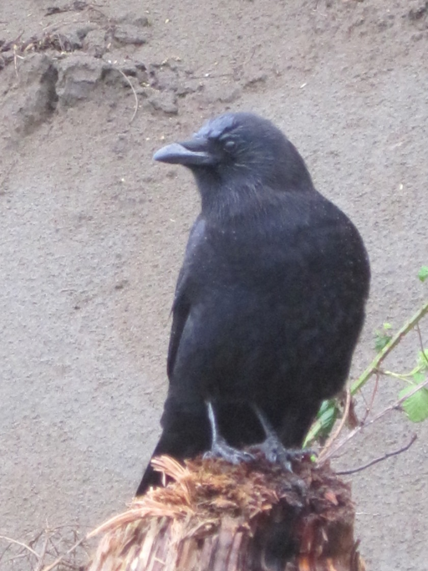 My Crow Follower
