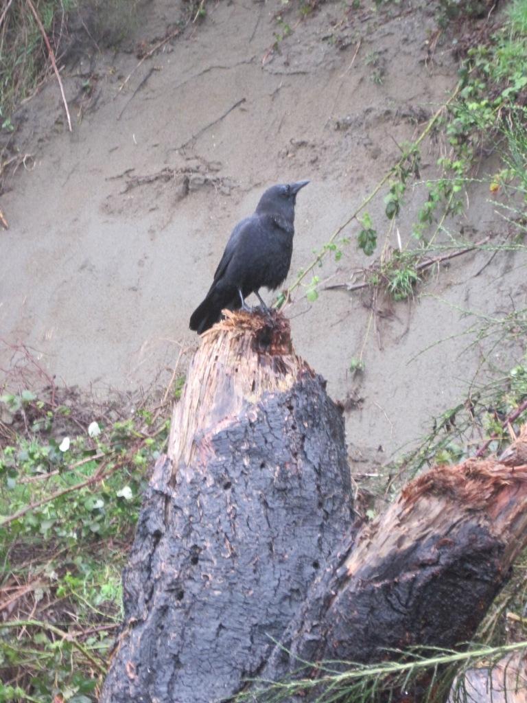Crow of Ocean View Beach