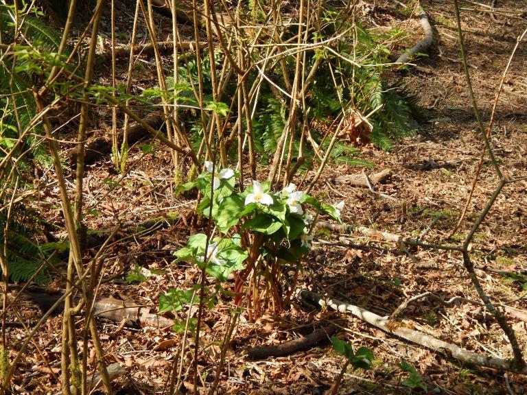 Trillium Bouquet - 3/23/14