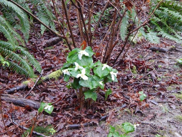 Trillium Bouquet - 3/15/15