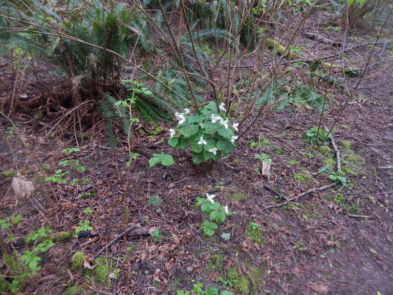 Trillium Bouquet - 3/20/16