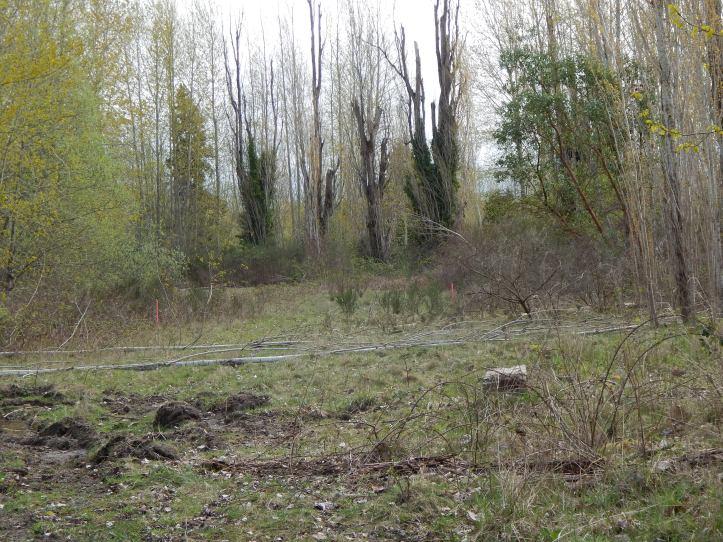 Old original poplars on back curve Longacres