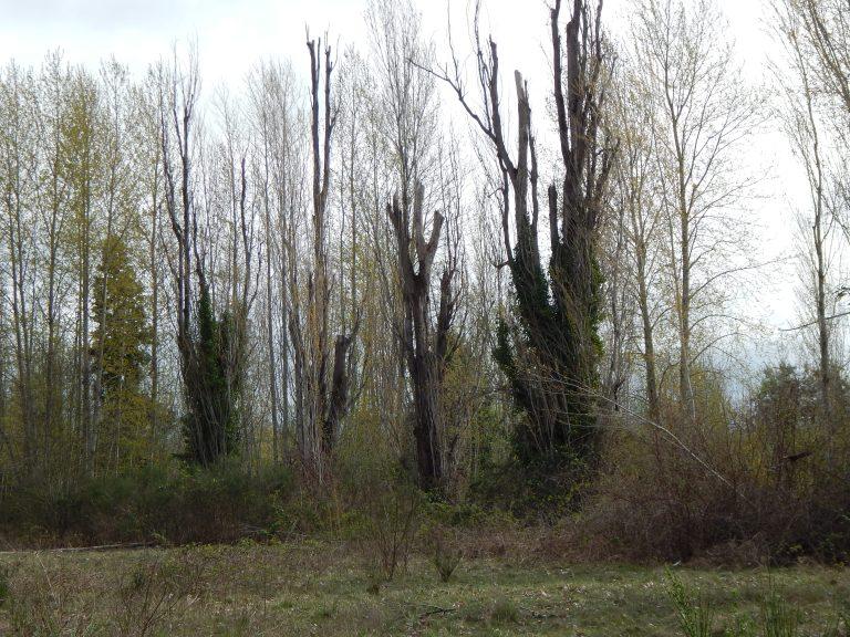 Closeup of Poplars rotting away at Longacres in ruins