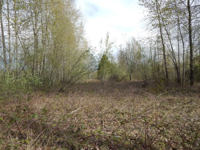 Northeast side of Longacres track 2016 with blackberries