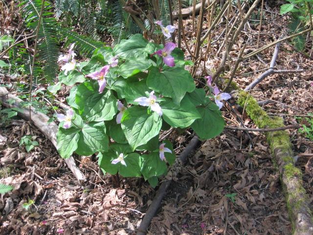 Trillium Bouquet 4/15/12