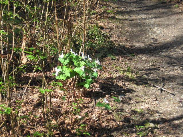 Trillium Bouquet - 3/31/13