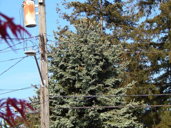 Crow nest near power pole