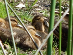 Baby duck get together