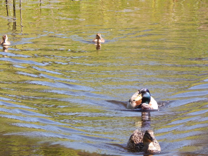 Duck family swims away