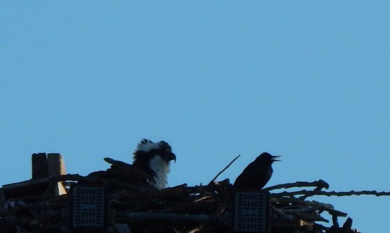 Starling giving Osprey raspberry