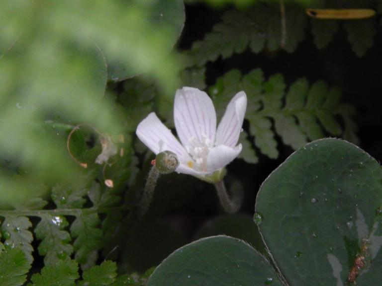Shamrock blooms next to babbling brook