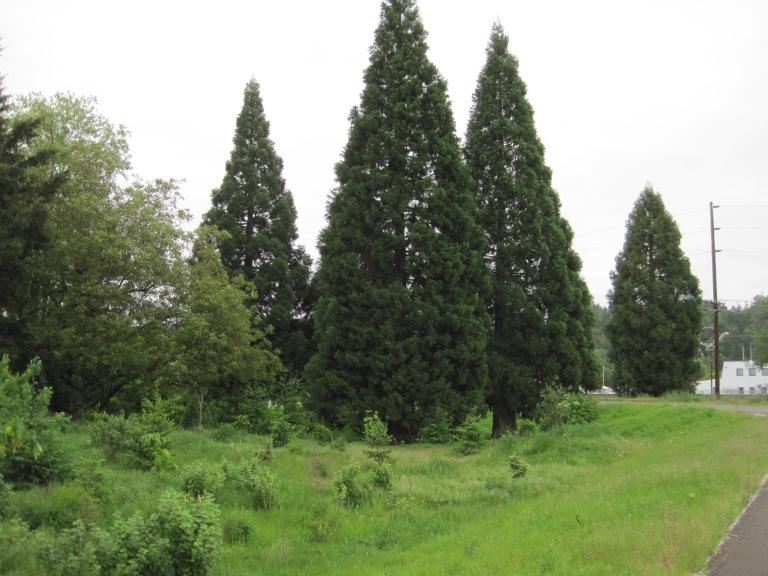 Redwoods grove