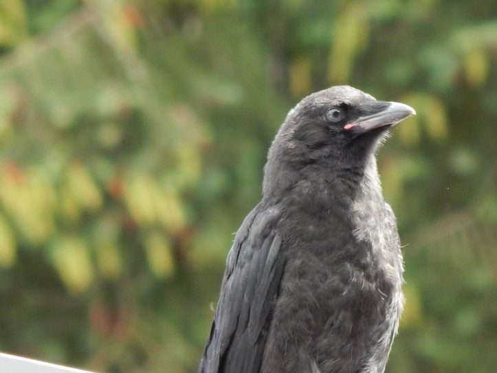 Baby Crow oblivious to parents angst