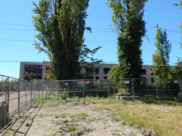 Racetrack poplars protected during construction