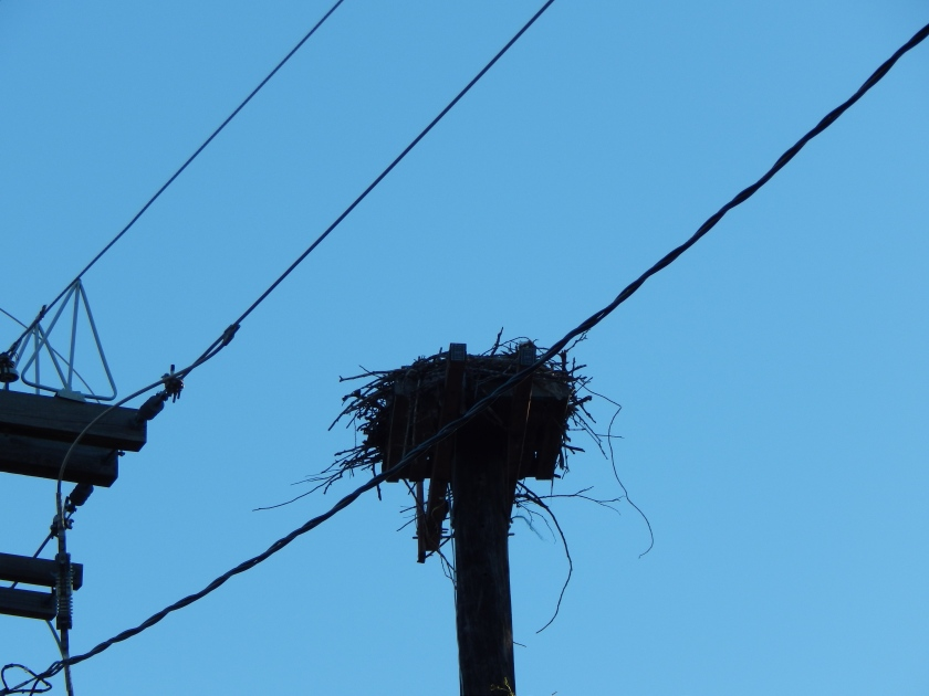 Osprey nest moved from power pole