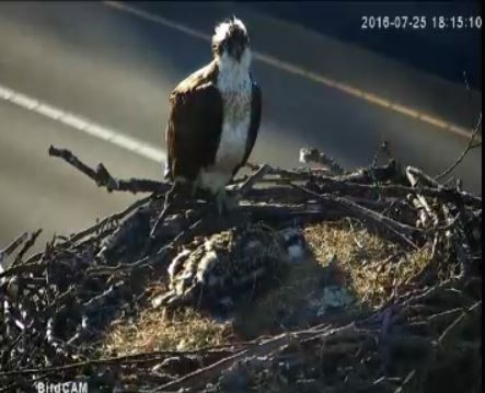 Freeway Osprey parent with baby