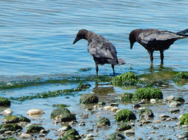 Two young crows in the Sound