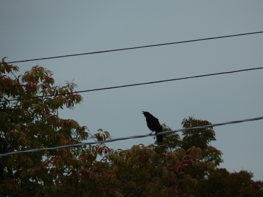Crow on Marine View Drive with trees turning colors